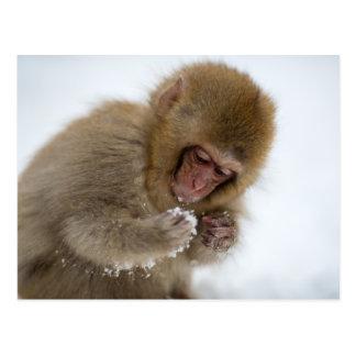 Un Macaque japonés del bebé (o mono de la nieve) Postales