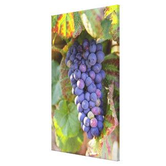 Un manojo de uvas del pinot negro en un Chambertin Lona Estirada Galerias