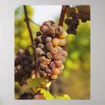Un manojo mohoso de la uva de Semillon en Ch Raymo Póster