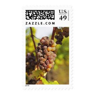 Un manojo mohoso de la uva de Semillon en Ch Envio