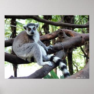 Un mono de la cola del anillo en un árbol póster