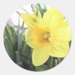 Un narciso amarillo alegre etiqueta redonda