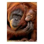 Un orangután de la madre y del bebé comparte un ab tarjetas postales