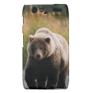 Un oso de Brown que camina en un rastro Motorola Droid RAZR Fundas
