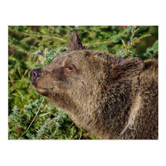 Un oso grizzly sonriente tarjetas postales