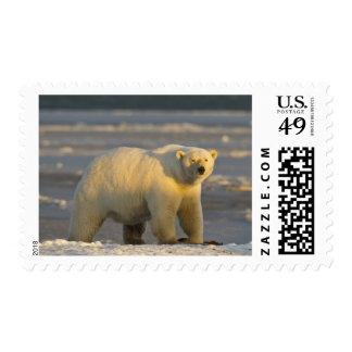 Un oso polar femenino se coloca en la playa nevada envio