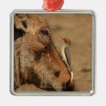 Un Oxpecker en un hocico de los warthogs, Adorno Cuadrado Plateado