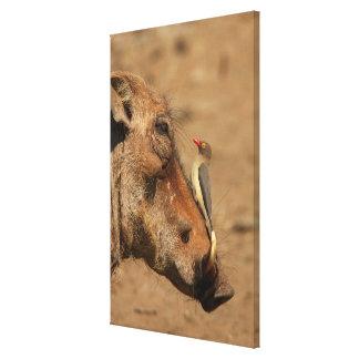 Un Oxpecker en un hocico de los warthogs, Isimanga Lona Estirada Galerías
