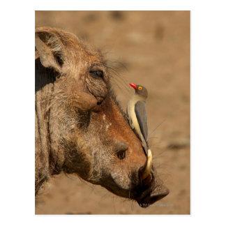 Un Oxpecker en un hocico de los warthogs, Postales