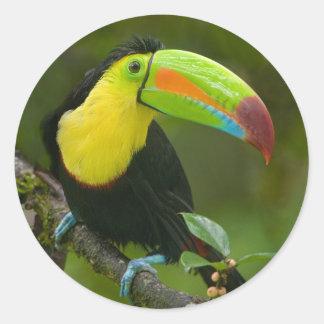 Un pájaro toucan hermoso se encaramó en una rama pegatinas redondas