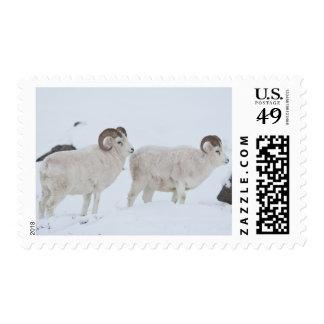 Un par de espolones de las ovejas de Dall mira Envio