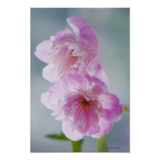 Un par de flores rosadas del Peony Posters