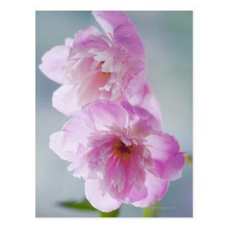 Un par de flores rosadas del Peony Tarjetas Postales