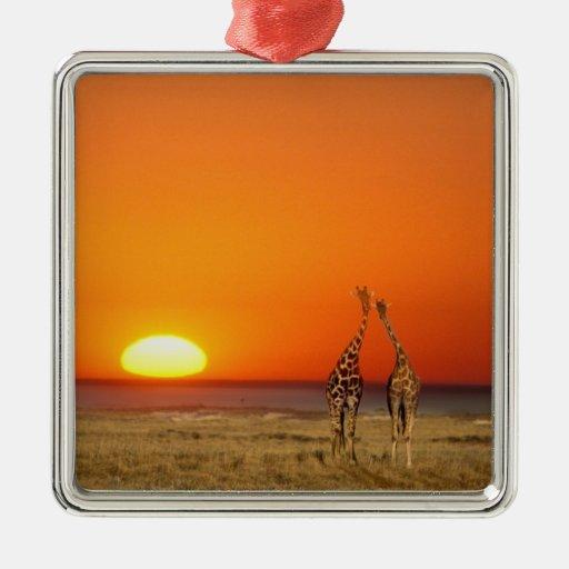 Un par de la jirafa camina en la puesta del sol, a ornamentos para reyes magos