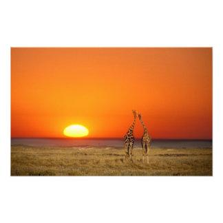 Un par de la jirafa camina en la puesta del sol, a fotografías
