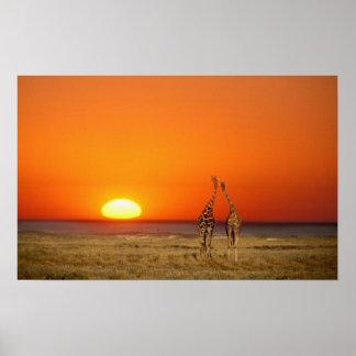 Un par de la jirafa camina en la puesta del sol, a impresiones
