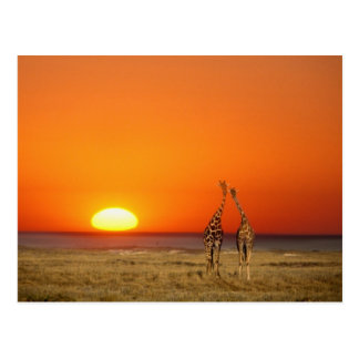 Un par de la jirafa camina en la puesta del sol, tarjeta postal