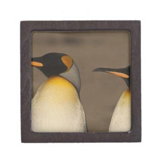 Un par de rey pingüinos (Aptenodytes P. Cajas De Recuerdo De Calidad