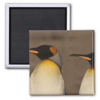 Un par de rey pingüinos (Aptenodytes P. Imán De Nevera