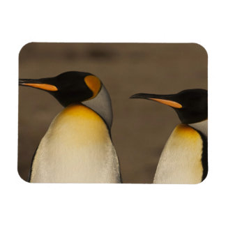 Un par de rey pingüinos (Aptenodytes P. Iman