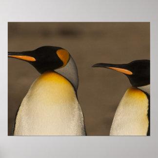 Un par de rey pingüinos (Aptenodytes P. Posters