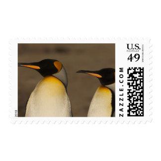 Un par de rey pingüinos (Aptenodytes P. Franqueo