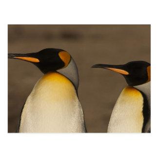 Un par de rey pingüinos (Aptenodytes P. Postal