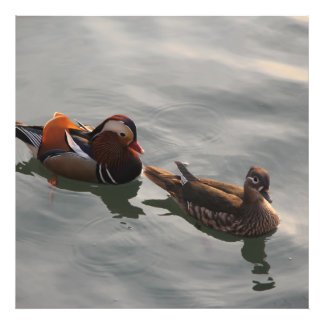 Un par hembra-varón de Mandrain Ducks la natación Fotografía