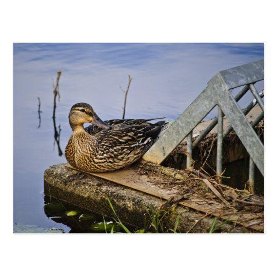 Un pato con estilo tarjetas postales