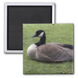 Un pato salvaje en hierba verde en tiempo de imán cuadrado