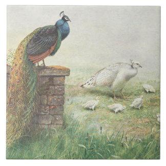 Un pavo real y un blanco azules peahen con los