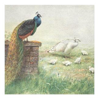 Un pavo real y un blanco azules peahen con los impresion fotografica