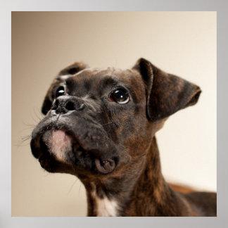 Un perrito Brindle del boxeador que mira para arri Impresiones