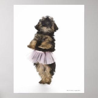 Un perrito de Yorkie-poo en un tutú en sus piernas Póster