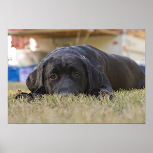 Un perrito del labrador retriever póster