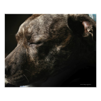 Un perro del pitbull el dormir impresiones