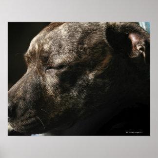 Un perro del pitbull el dormir póster