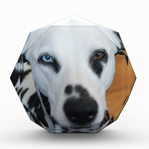 Un perro lindo del Dalmatian del ojo azul
