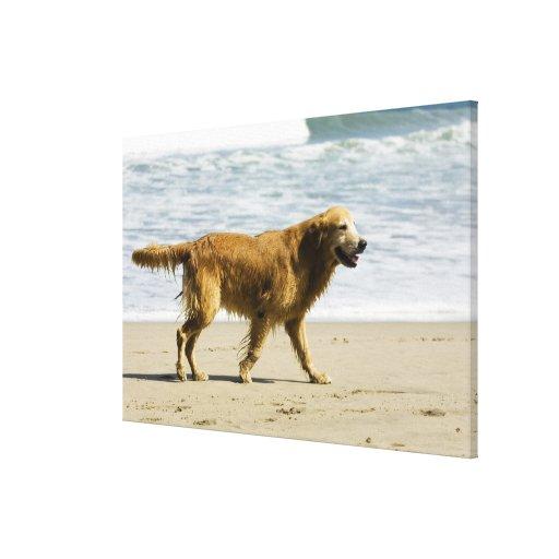 Un perro mojado en la playa impresiones de lienzo
