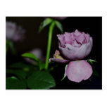 Un pétalo de un color de rosa postal