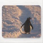 Un pingüino del gentoo se detiene brevemente para  alfombrilla de ratones
