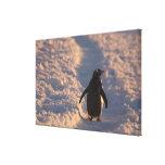 Un pingüino del gentoo se detiene brevemente para  impresión en lona