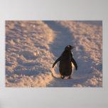 Un pingüino del gentoo se detiene brevemente para  posters
