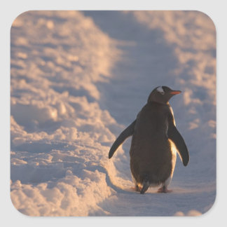 Un pingüino del gentoo se detiene brevemente para calcomania cuadradas