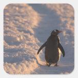 Un pingüino del gentoo se detiene brevemente para pegatina cuadrada