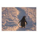 Un pingüino del gentoo se detiene brevemente para  arte fotografico