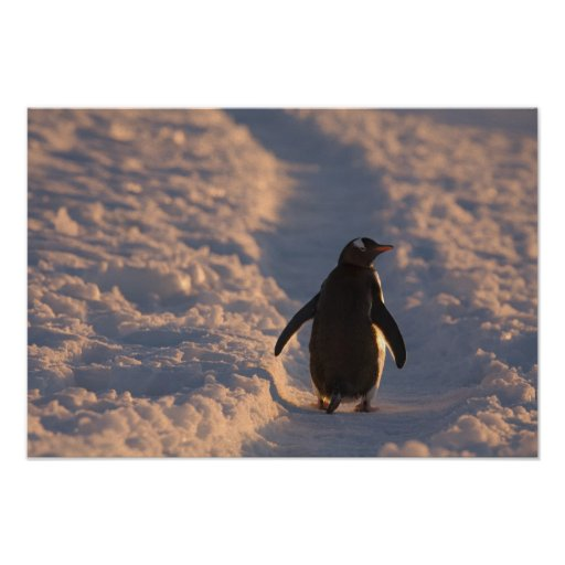 Un pingüino del gentoo se detiene brevemente para  póster