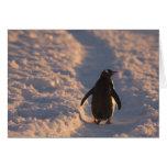 Un pingüino del gentoo se detiene brevemente para  tarjeta de felicitación