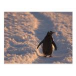 Un pingüino del gentoo se detiene brevemente para tarjetas postales