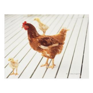 Un pollo y dos polluelos en un piso de madera, tarjeta postal